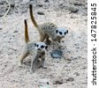 Two small meerkats - stock photo