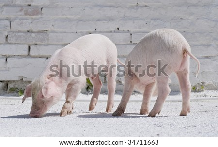 Two small pigs against a brick wall - stock photo