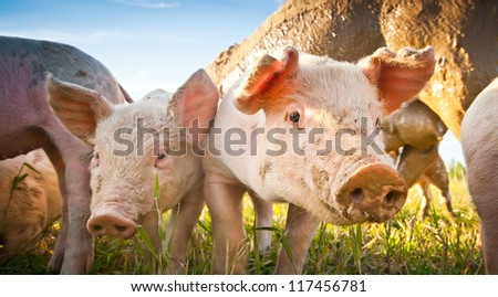 Two small pigs on a pigfarm in Dalarna, Sweden - stock photo