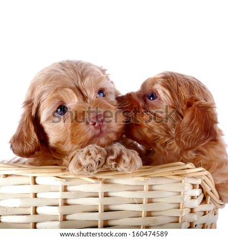 Two small puppies in a wattled basket. Puppies of a decorative doggie. Decorative dog. Puppies of the Petersburg orchid on a white background - stock photo