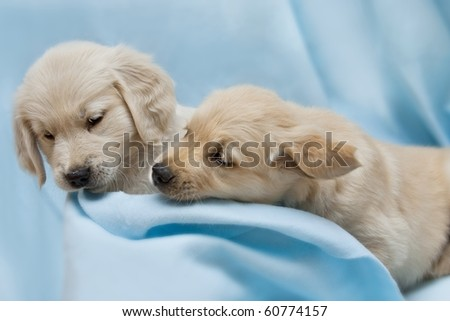 Two small puppy - golden retriever - stock photo