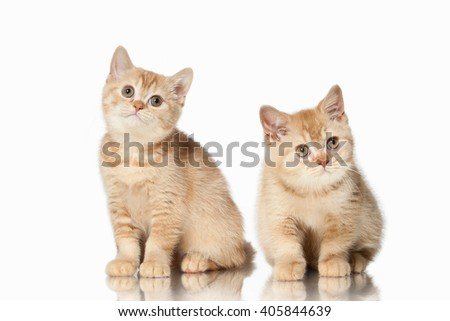 Two small red british kittens on white background