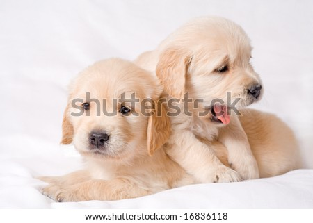 Two small retriver puppies sitting together - stock photo
