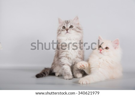 Two small Siberian kittens on grey background. Cat lying and sitting. - stock photo