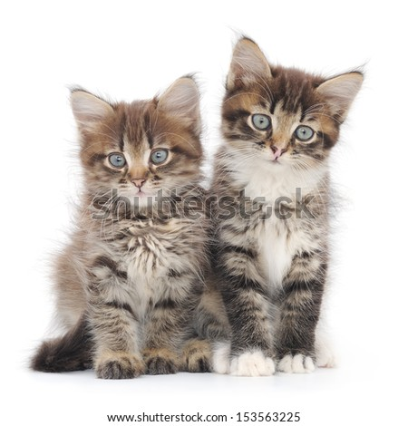 Two small Siberian kittens on white background.  - stock photo