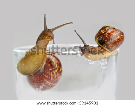 Two small snails on grey background - stock photo