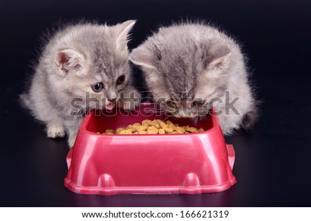 two small striped Scottish kittens eat diet food. animals isolated on black background - stock photo