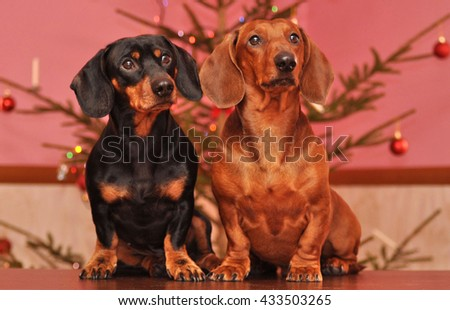 Two Smooth haired Dachshunds at Christmas