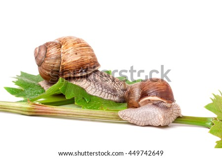 two snails crawling on the vine with leaf white background - stock photo