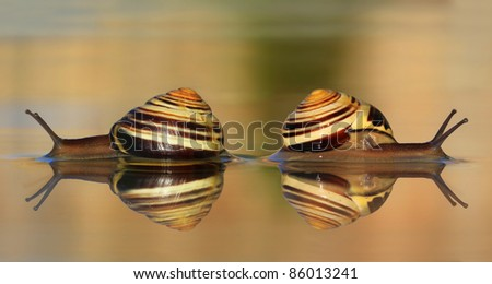 Two snails in the water - stock photo