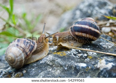 two snails meet and greet each other with antennas after the rain on the stone