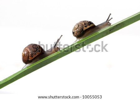 two snails moving upwards on a green leaf - stock photo
