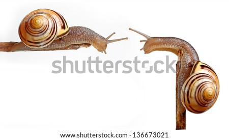 Two snails on stick isolated in white - stock photo