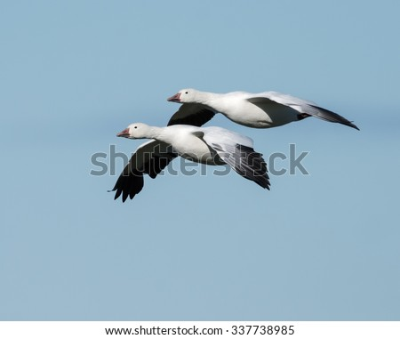 Two Snow Geese Flying South in Fall on Blue Sky - stock photo