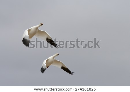 Two Snow Geese Gliding with Wings Extended - stock photo