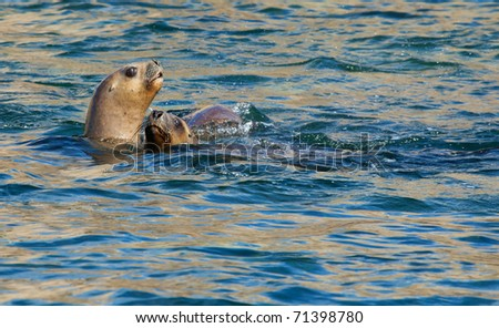 Two South American Sea Lions in the water - stock photo