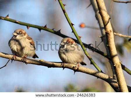 two sparrows in a tree, focus on the one at the right
