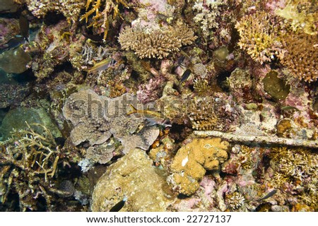 two spotfin squirrelfish and variety of coral on great barrier reef - stock photo