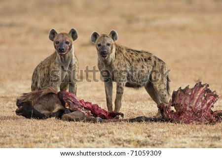 two spotted hyena eating its prey in the savanna of africa (Crocuta crocuta) - stock photo