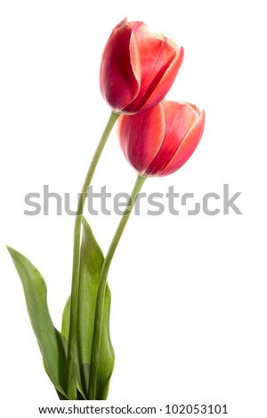 Two spring flowers. Tulips isolated on white - stock photo