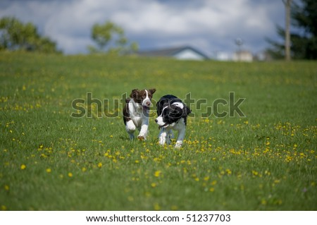 Two springer spaniel puppies run towards the camera in a field of green grass and yellow daisies. - stock photo