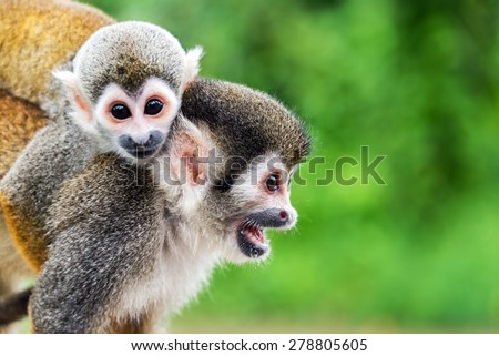 Two squirrel monkeys, a mother and her child in the Amazon rainforest near Leticia, Colombia - stock photo