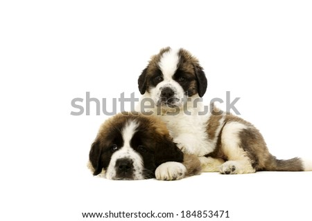 Two St Bernard puppies laid isolated on a white background - stock photo