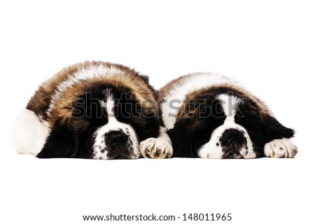 Two St Bernard puppies laid sleeping isolated on a white background - stock photo