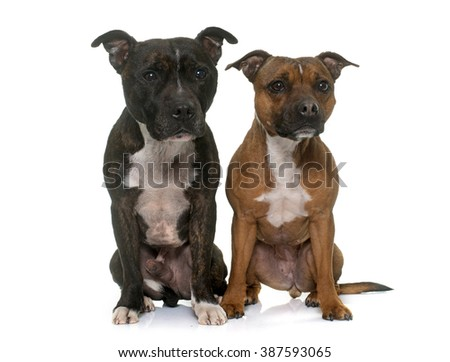 two staffordshire bull terrier in front of white background