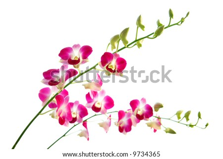 Two stalks of beautiful oriental magenta orchids, with lots of unopened new buds. - stock photo