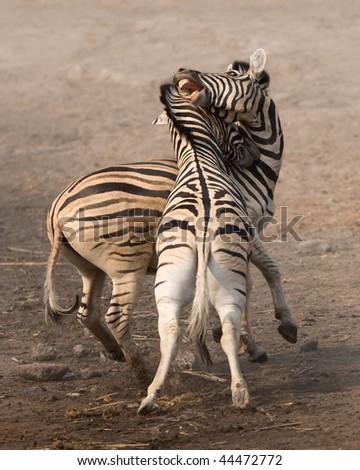 Two stallions fighting and biting in Etosha; Equus burchell's - stock photo