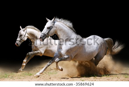 two stallions in dust - stock photo