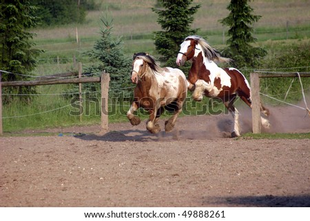 Two stallions in the paddock - stock photo