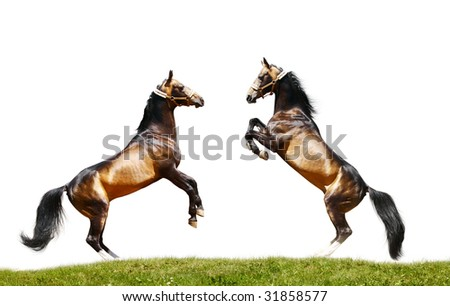 two stallions isolated, standing on grass - stock photo