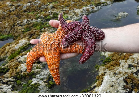 Two starfishes on a hand of the man (coast of Pacific ocean. British Columbia. Canada)