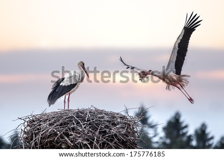 two stork on nest closeup - stock photo