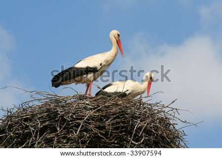 two storks in a nest, blue sky in background - stock photo
