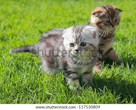 Two striped kitten playing on grass in bright sunny summer day
