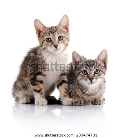 Two striped kittens. Striped not purebred kittens. Kittens on a white background. Small predators. Small cats. - stock photo