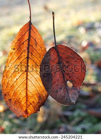 two stuck together autumn leafs lighted by the sun - stock photo