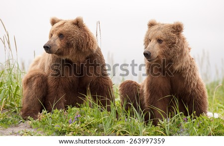 Two sub adult brown bears looking in the same direction, to the left, in tandem - stock photo