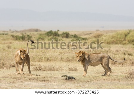 Two sub adult male African Lions playing with a Monitor Lizard, Serengeti, Tanzania - stock photo