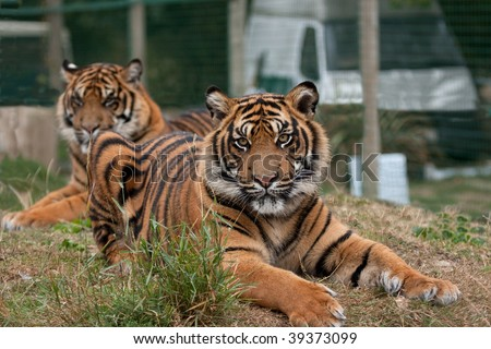 Two Sumatran tigers, one is very relaxed but interested