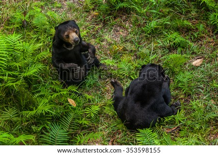 Two Sunbears Sitting on the Ground