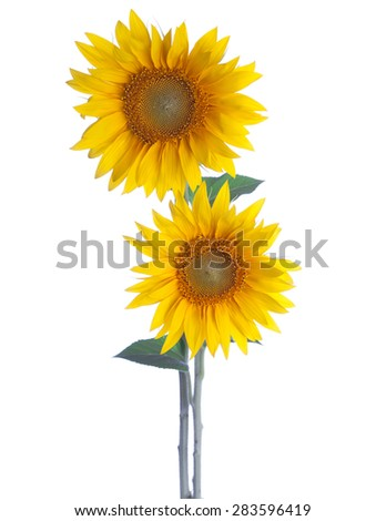 Two Sunflowers isolated on a white background. - stock photo