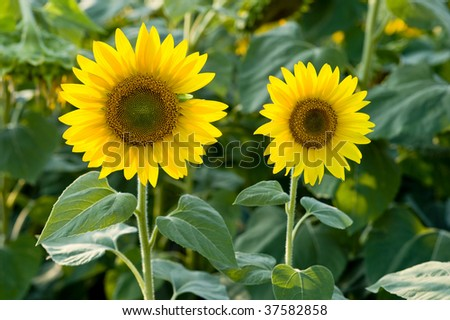 Two sunflowers on the field - stock photo