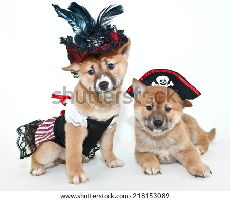Two super cute Shiba Inu puppies dressed up in pirate outfits on a white background.