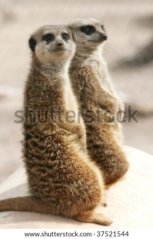 Two suricates on the alert watching for predators - stock photo