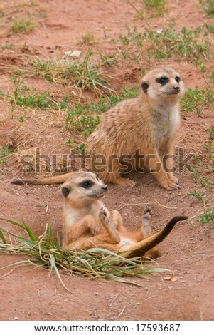 Two Suritcates, or Meerkats (Suricata suricata) - stock photo