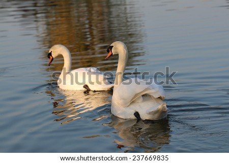 Two swan on blue lake water in sunny day - stock photo